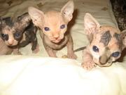 котята породы